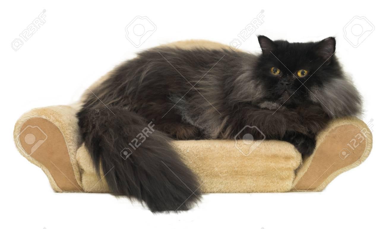 Immagini Stock Nero Gatto Persiano è Repaxing Sul Divanetto