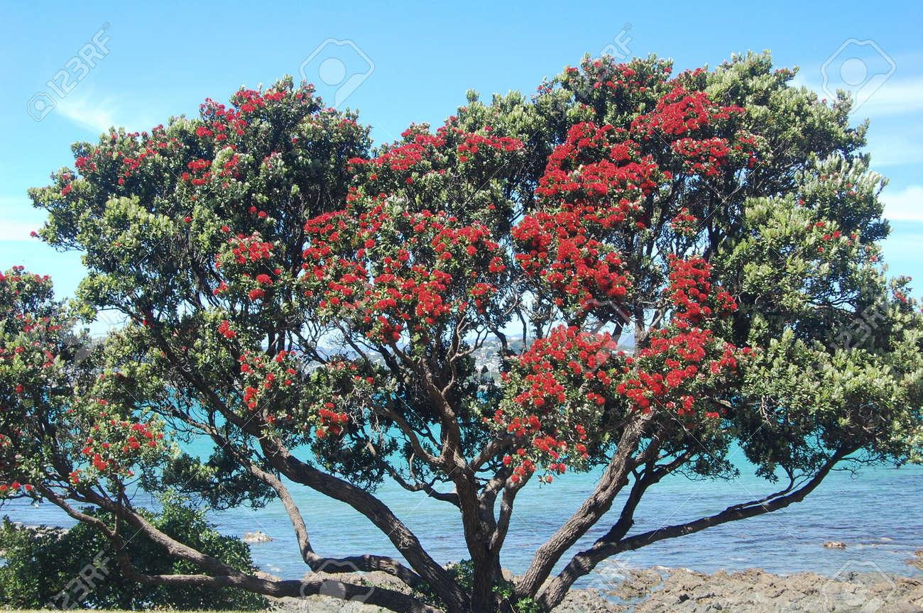 New Zealand Christmas Tree In Full Bloom Pohutukawa Stock Photo