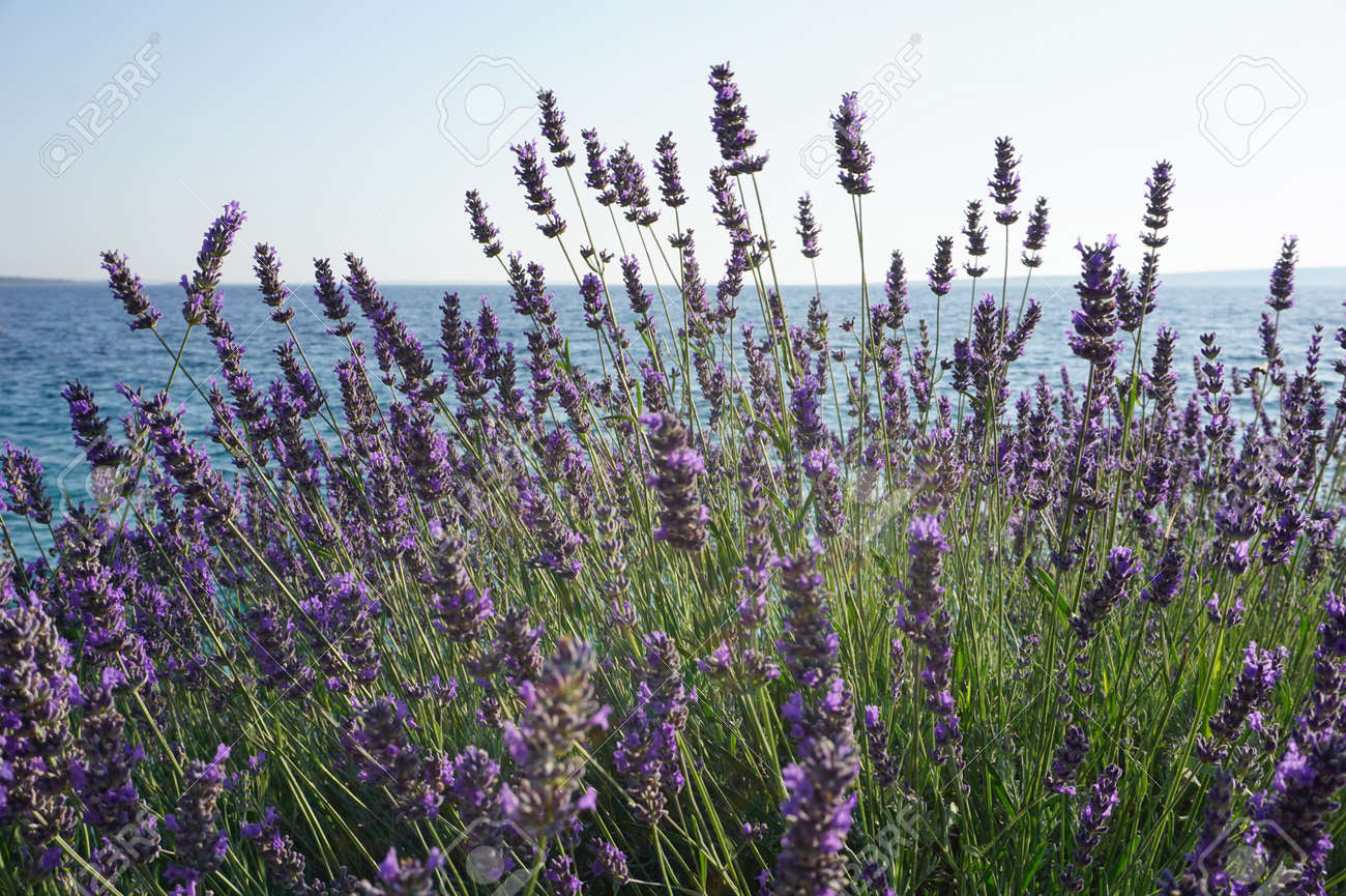 Lavender Bush With Purple Flowers By The Cratioan Sea Coast