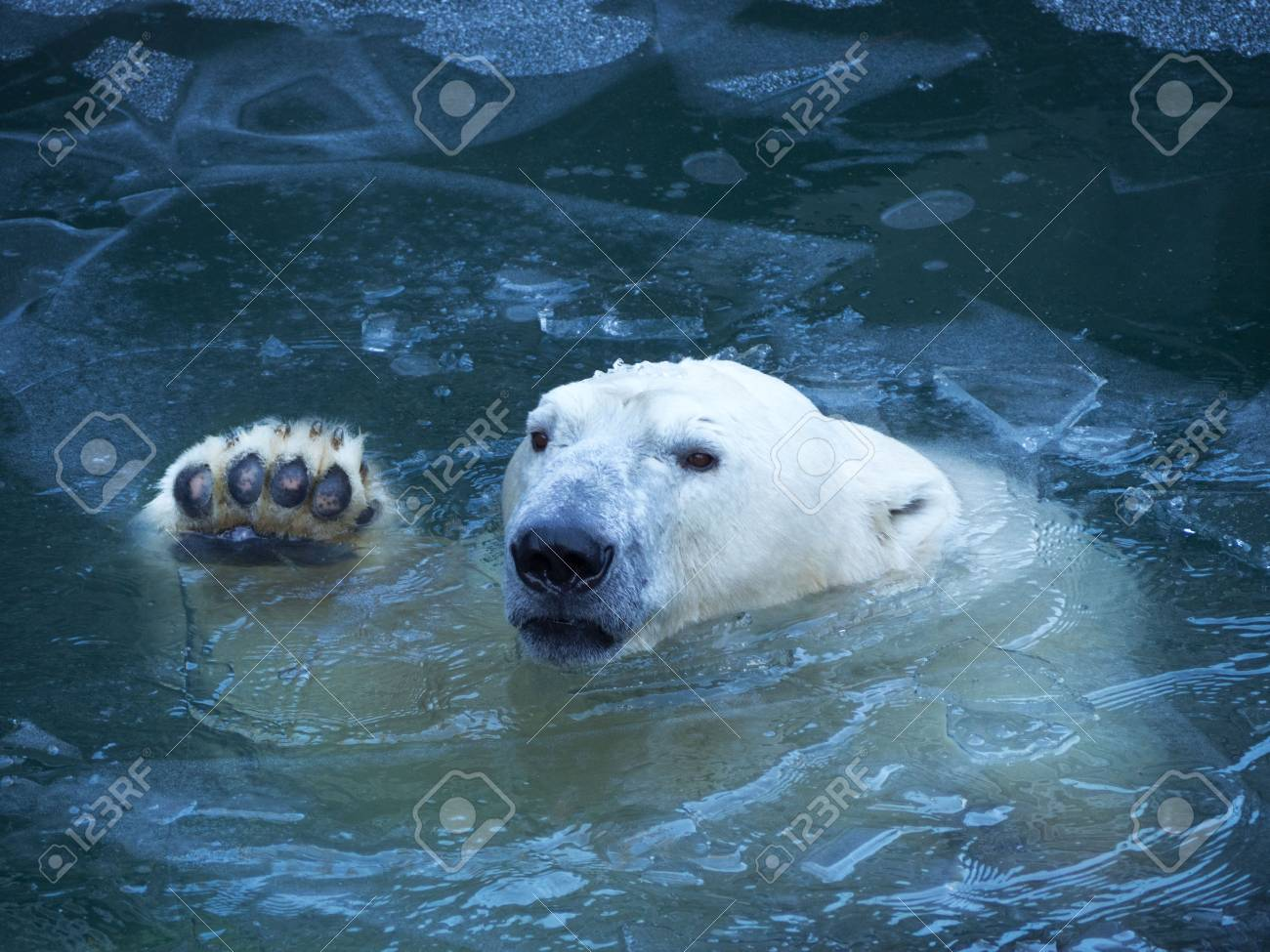 The polar bear waves his paw. Emerges from the water breaking a thin layer of ice. Pads on the paw. - 91310125