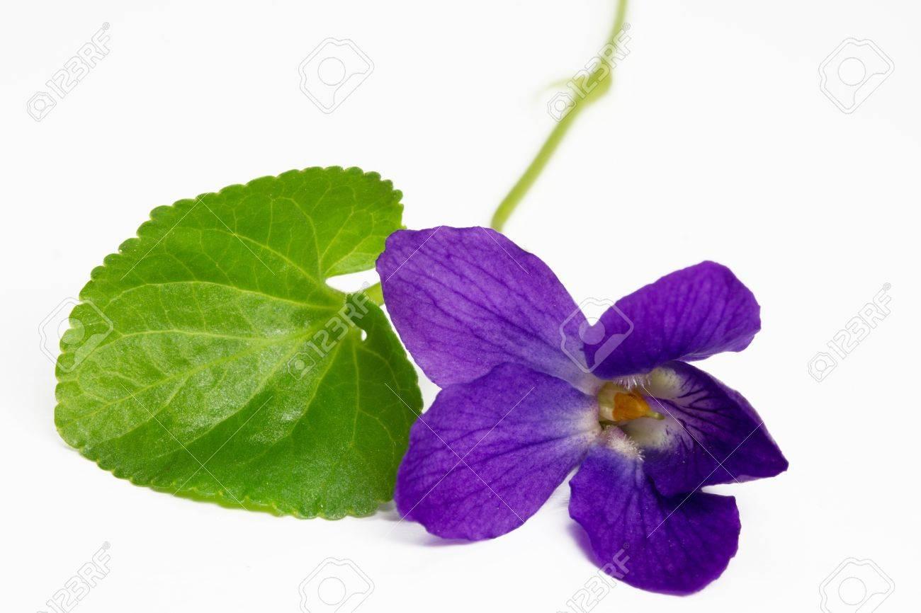 Pretty Purple Flowers White Background white background  violet