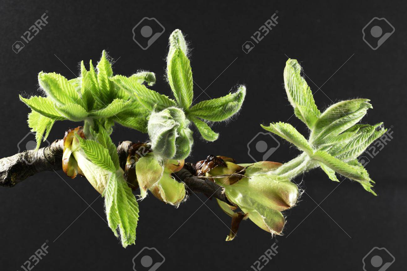 Buds and spring leaves of a chestnut tree (Aesculus hippocastanum) Stock Photo - 10501343