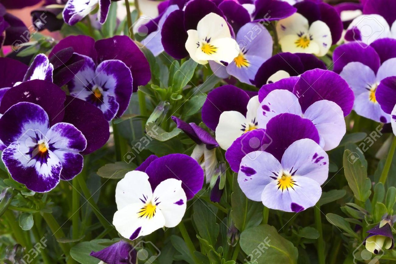 Viola cornuta (horned violet) Stock Photo - 10500618