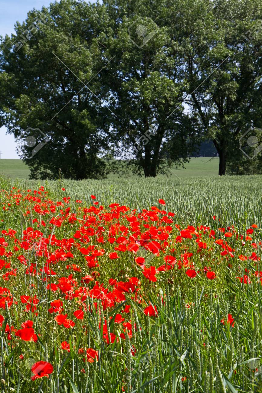 Poppies in front of a Wheat field in Bavaria, Germany Stock Photo - 10523059