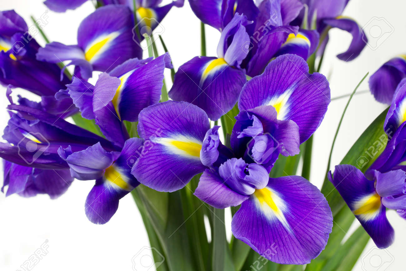 Dark purple iris flowers isolated on white background Stock Photo - 12537708