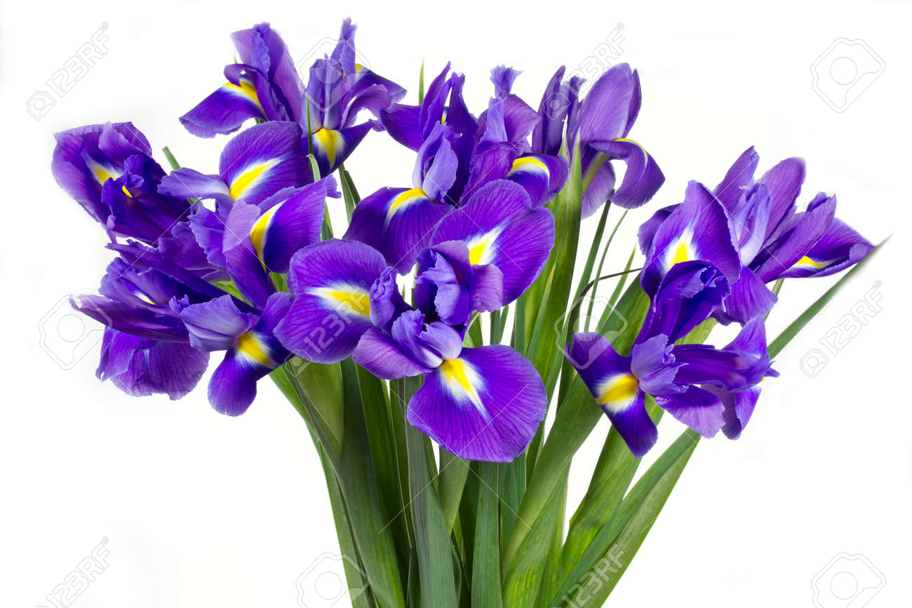 purple iris stock photos  pictures. royalty free purple iris, Beautiful flower