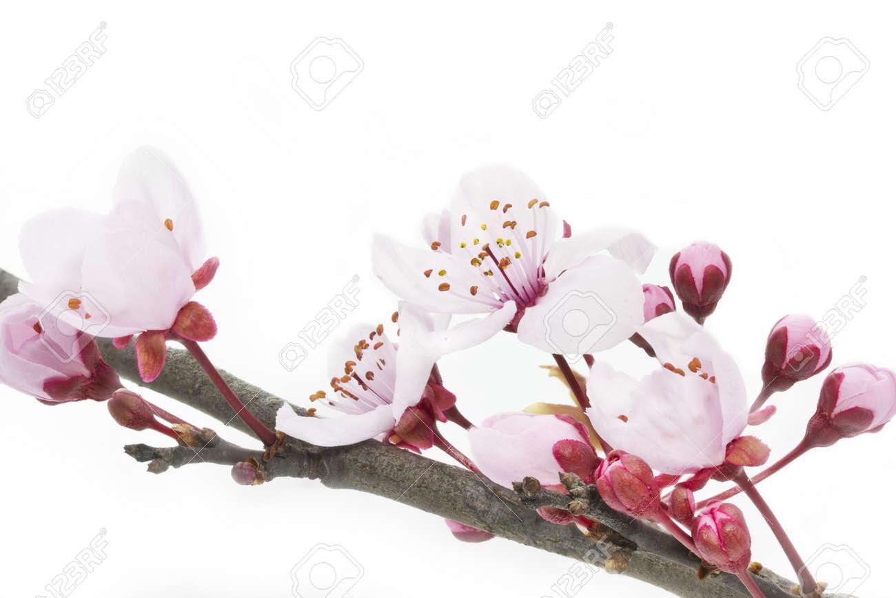 Cherry Plum or Myrobalan Blossoms on white background - 13150177