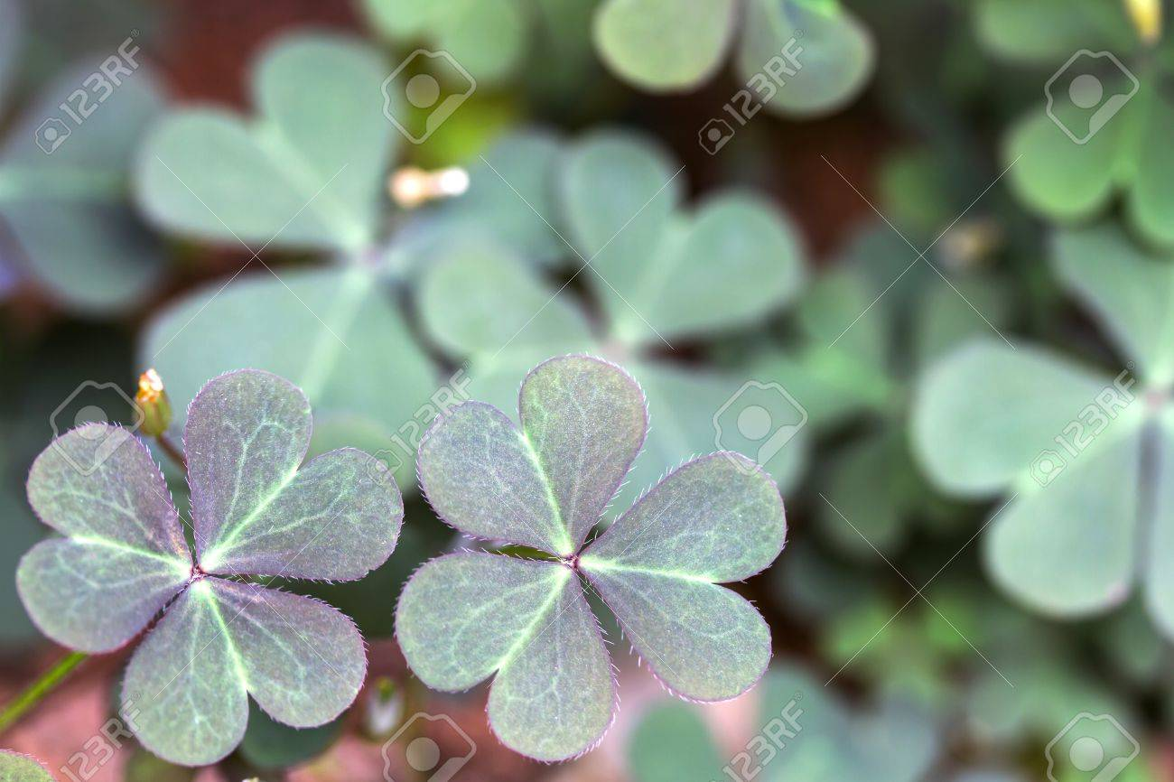 Oxalis corniculata leaves in the garden Stock Photo - 14358572