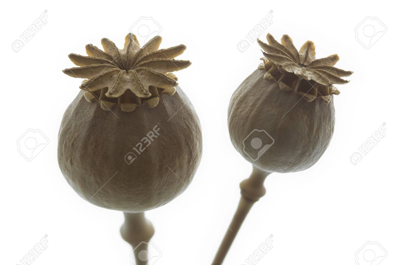 Dry poppy flower closeup isolated stock photo picture and royalty dry poppy flower closeup isolated stock photo 48878538 mightylinksfo