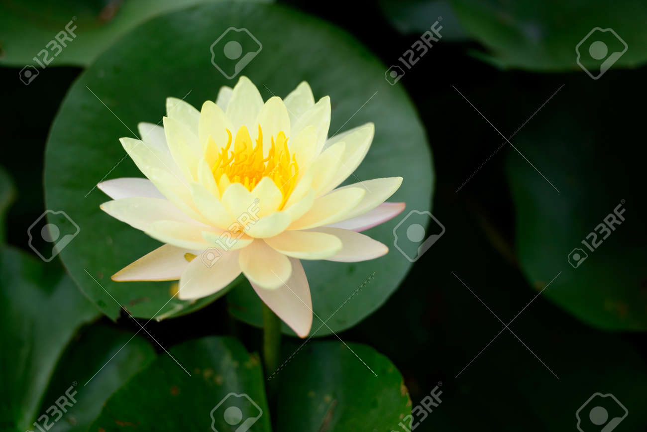 Yellow Lotus Flower Stock Photo Picture And Royalty Free Image