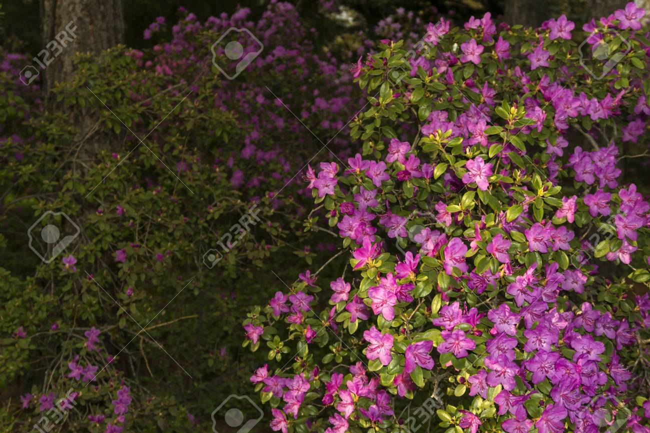 Bushes Of The Altai Rhododendron Blooming With Purple Flowers