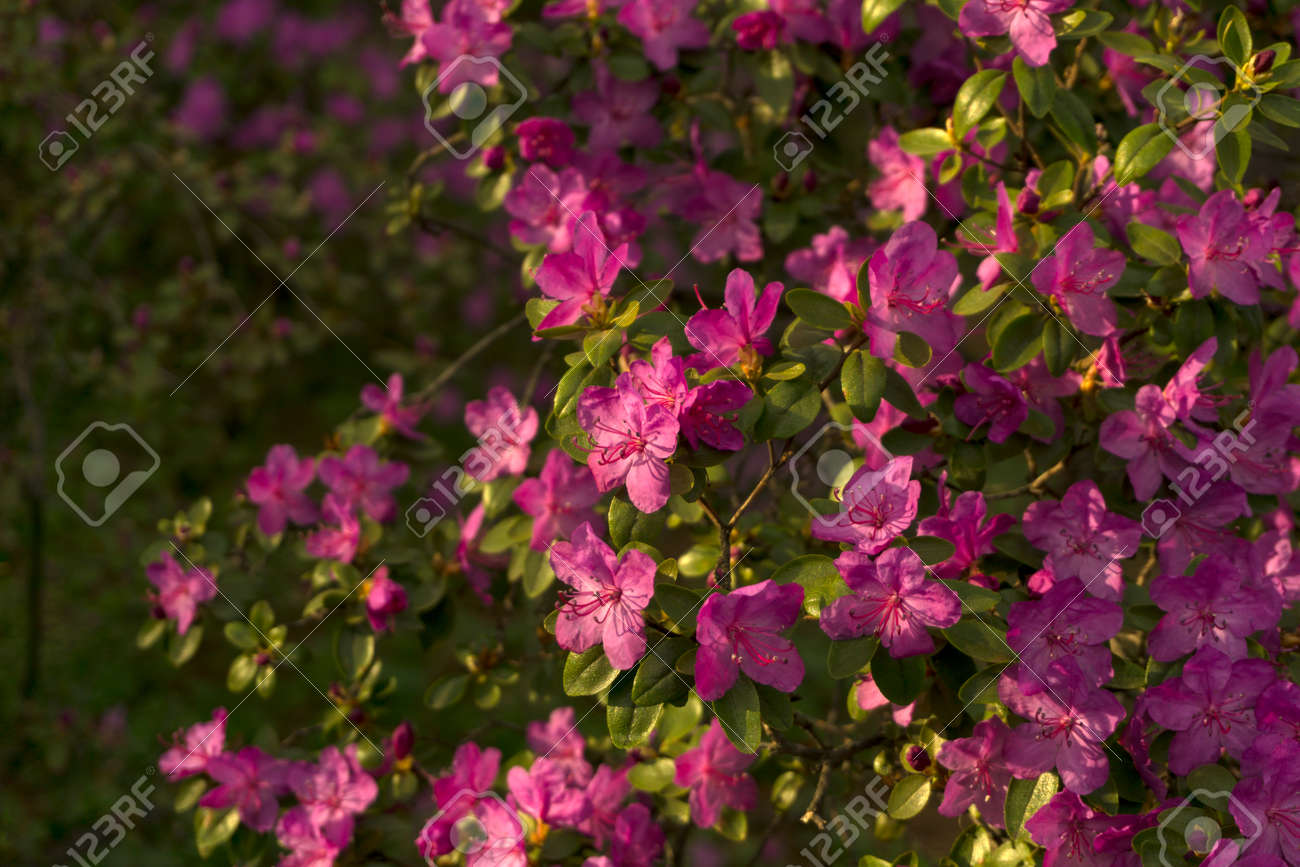 Bushes Of The Rhododendron Ledebourii Blooming With Purple Flowers