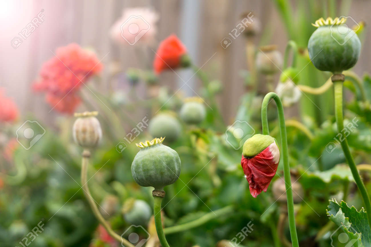 Flowers And Seed Heads Of Poppies In The Courtyard After Rain