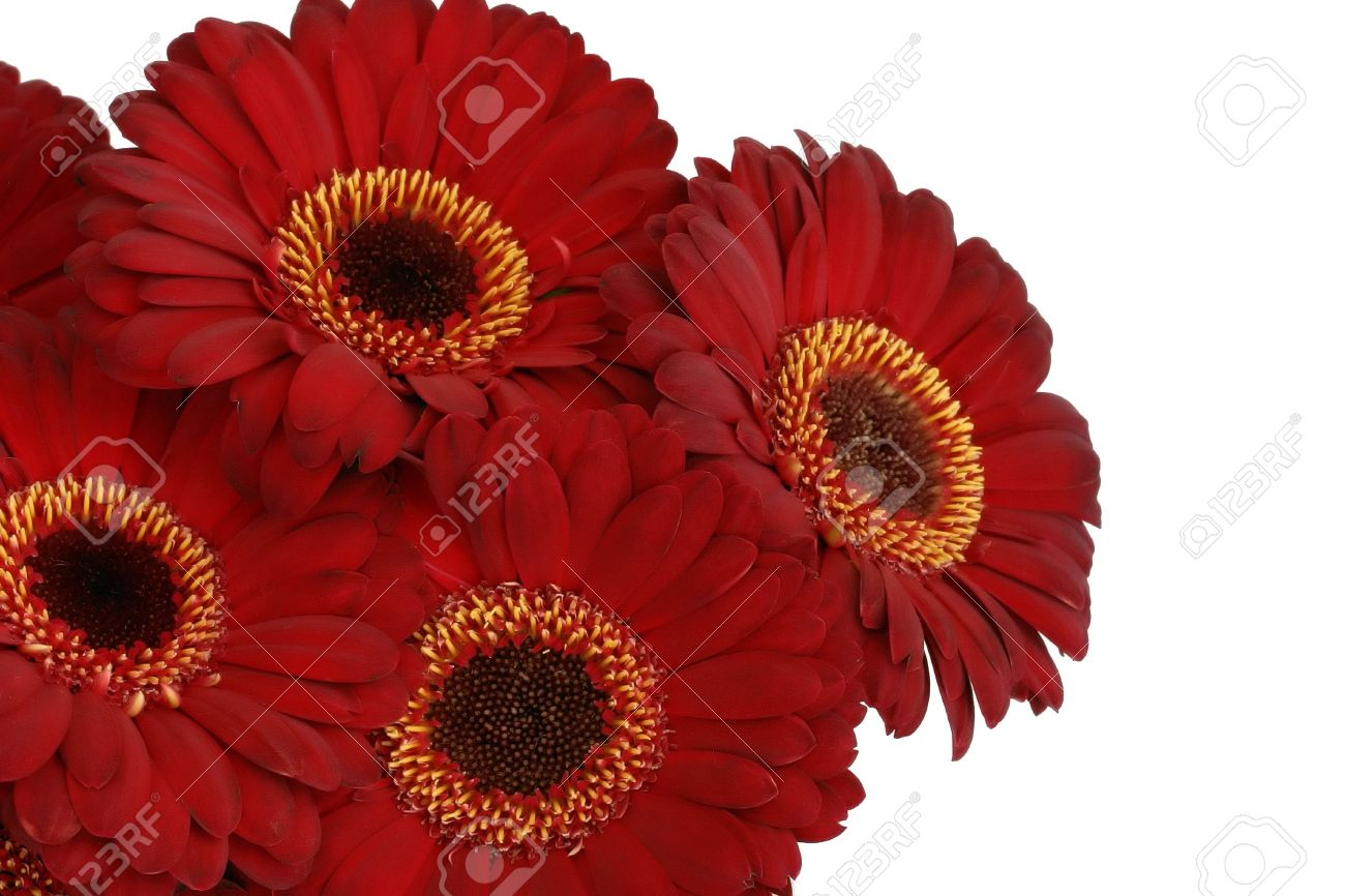 Bunch of red gerbera daisies Stock Photo - 4863797