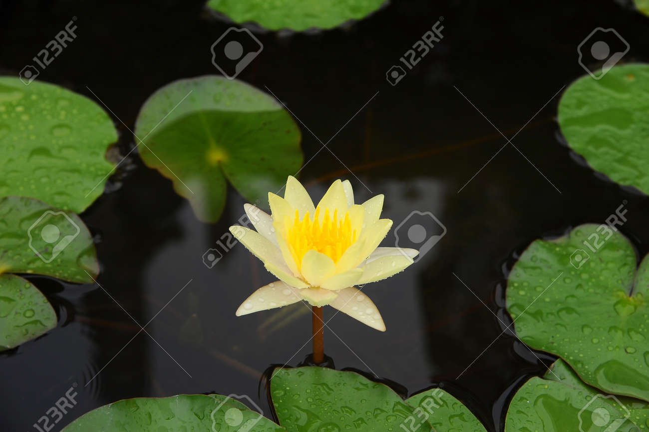 Yellow Lotus Flower On The Pond Stock Photo Picture And Royalty