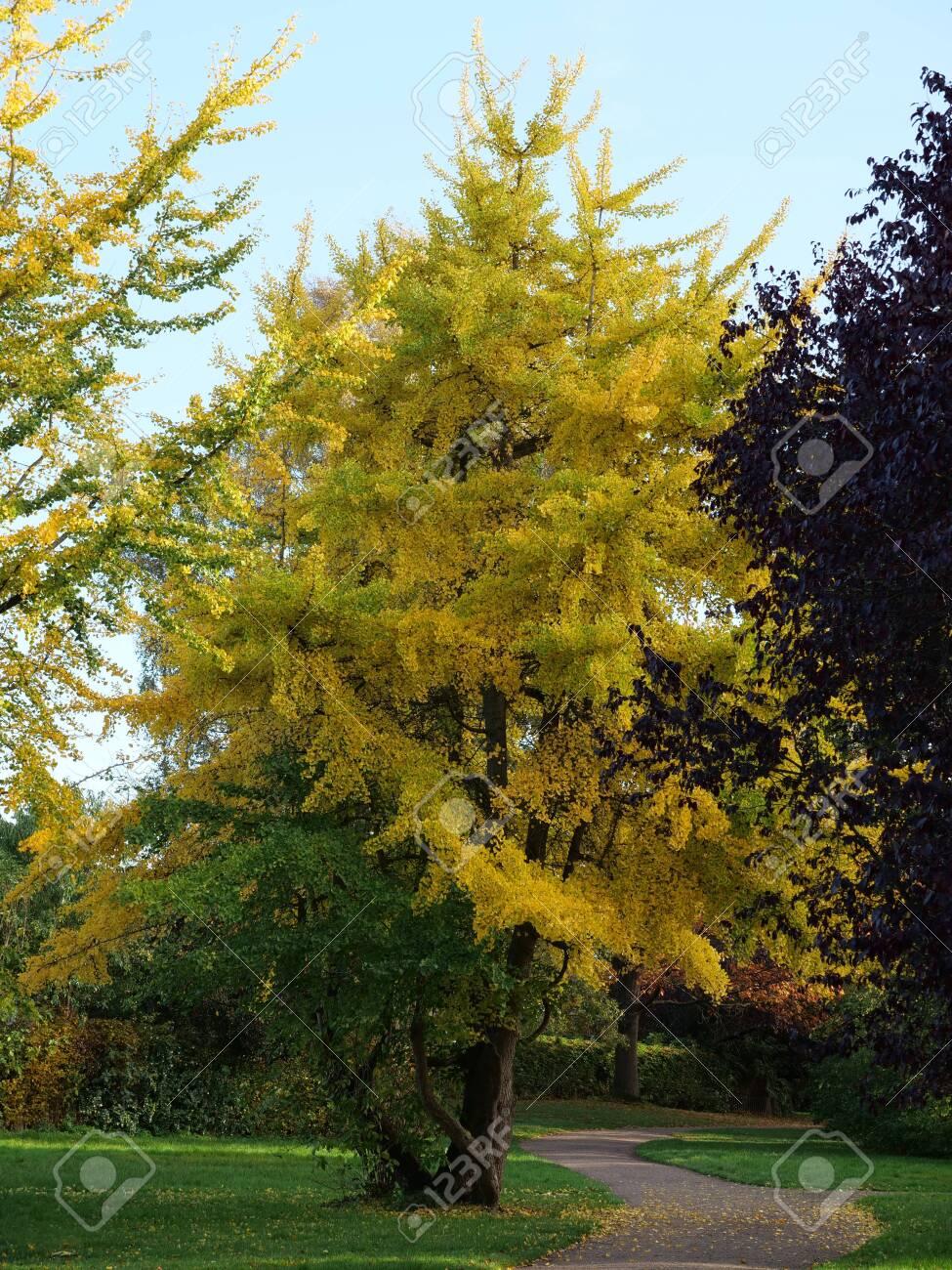 Ginkgo Tree Ginkgo Biloba In A Park In Autumn Stock Photo