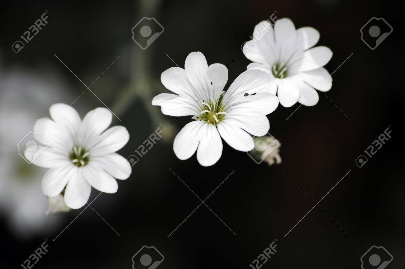3 white flowers on black background stock photo picture and royalty 3 white flowers on black background stock photo 12267755 mightylinksfo