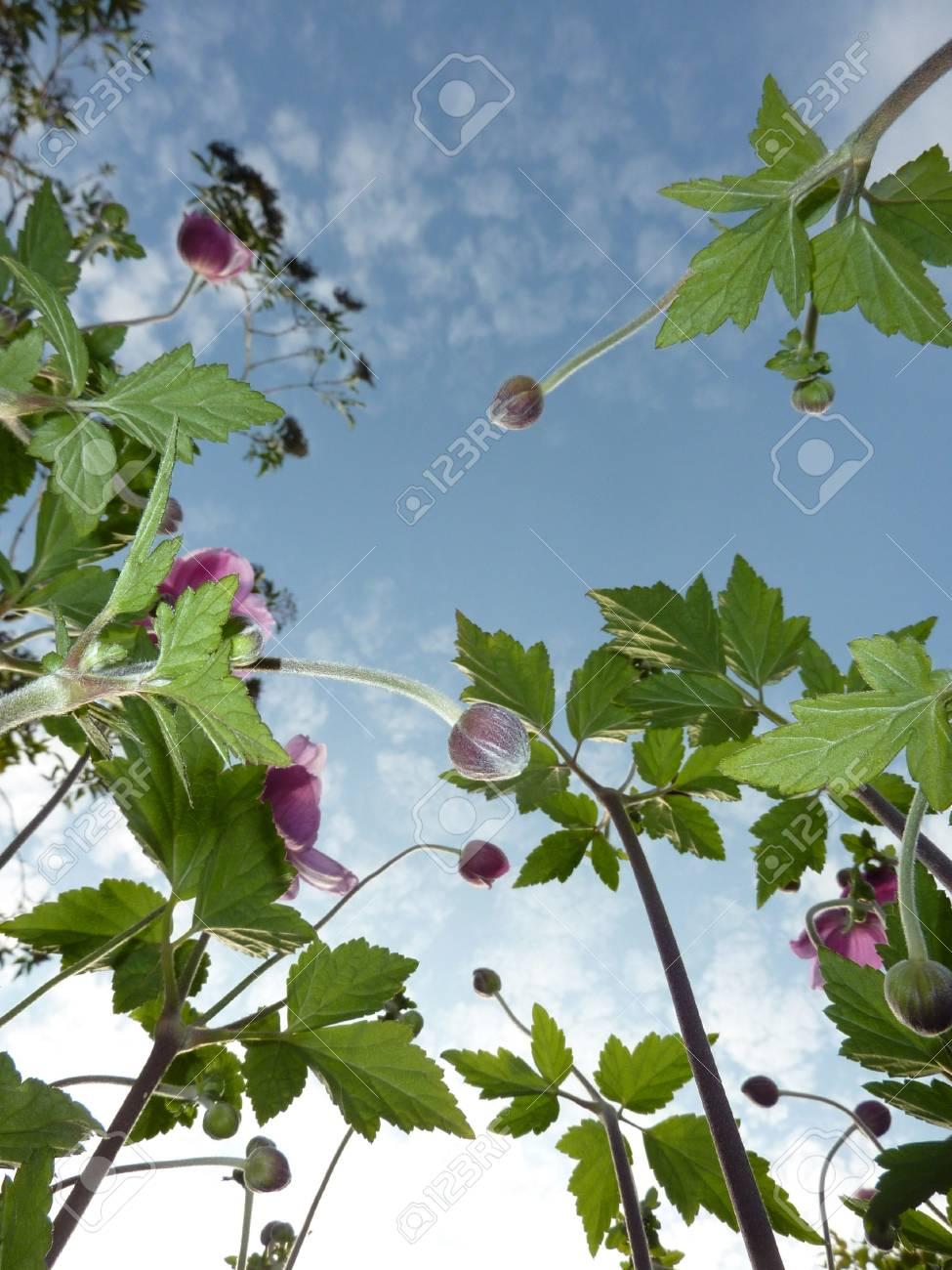 La Vista Desde Debajo De Unas Flores De Anémona Japonesa. Fotos ...