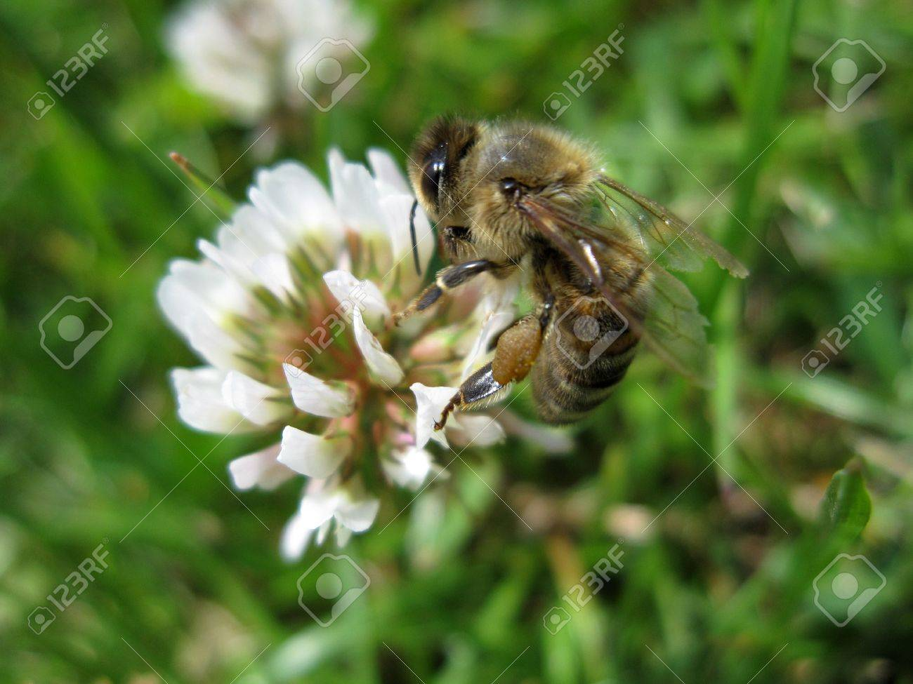 nice bee is sitting on a clover in the grass Stock Photo - 5277804