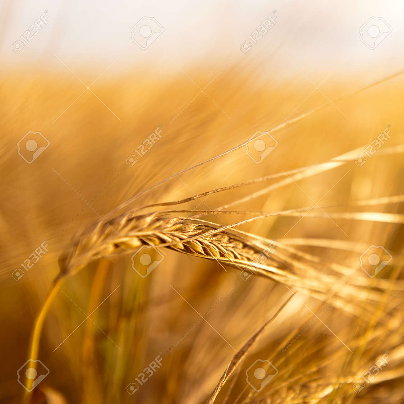 Closeup photo of a golden wheat in field under sunset rays Stock Photo - 12027194