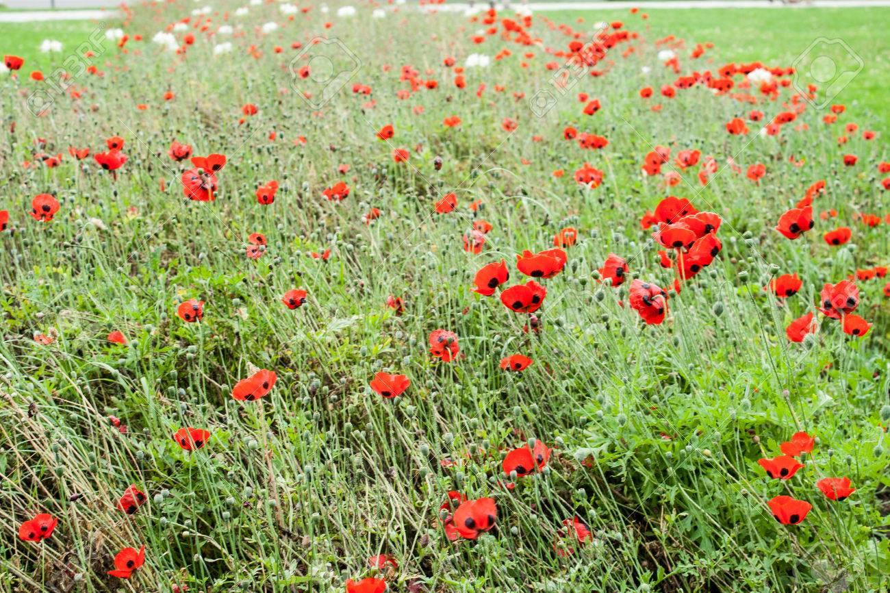 Poppy Or Poppies World War One In Belgium Flanders Fields Stock