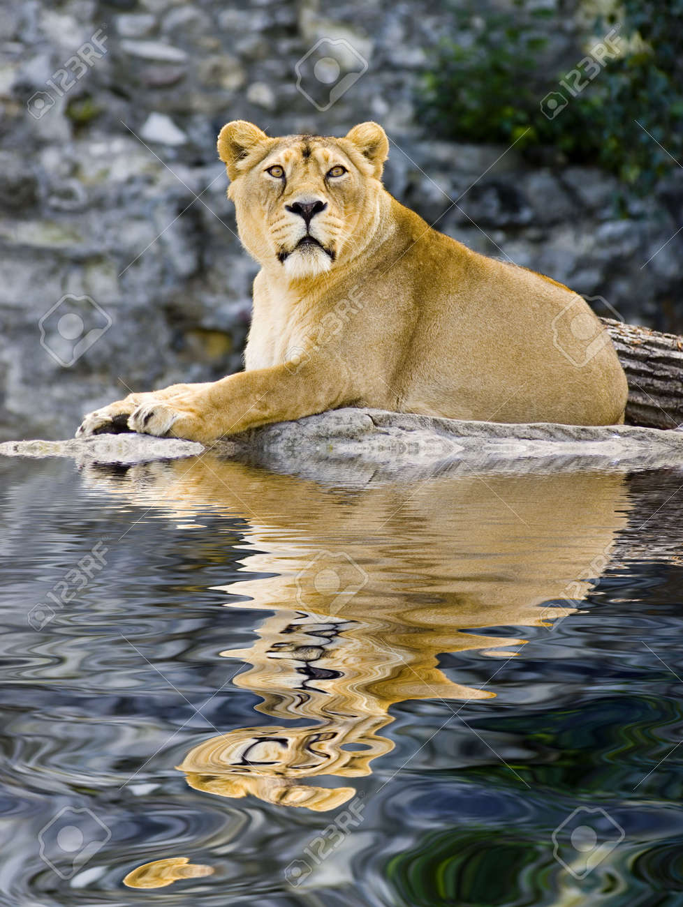Female lion laying in zoo with reflection on water Stock Photo - 618753