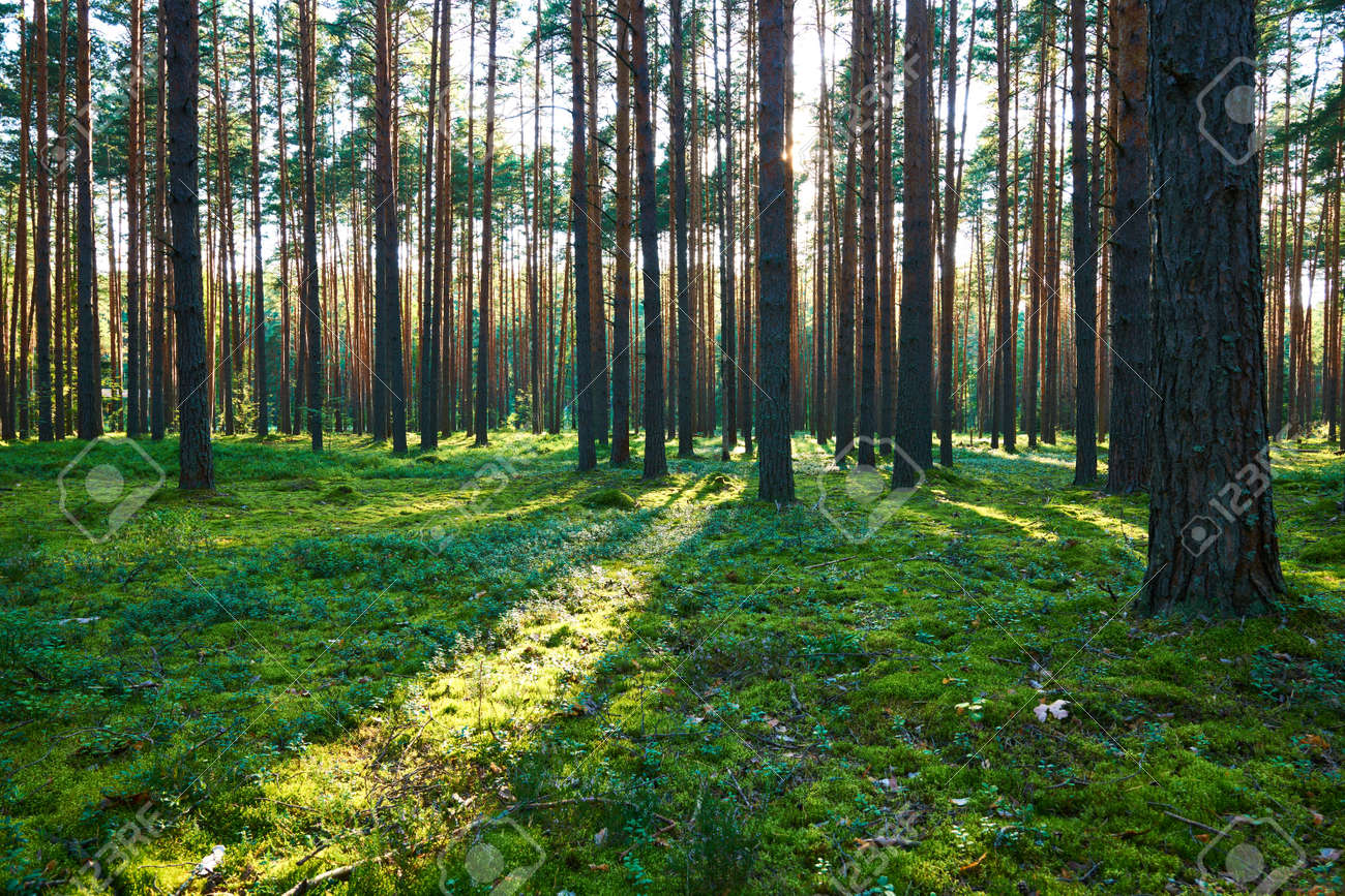 Early morning with sunrise in pine forest - 126289621