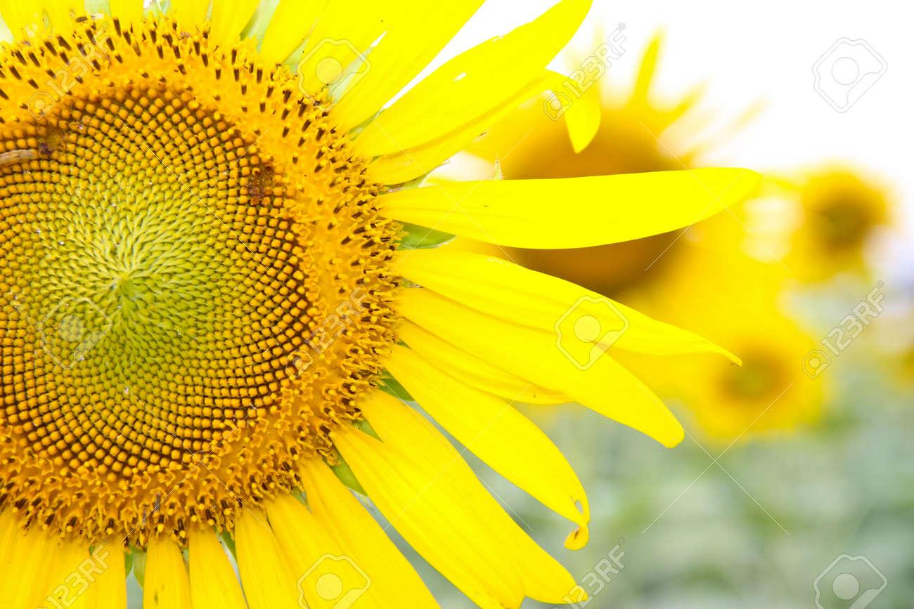 sun flower Stock Photo - 16875693
