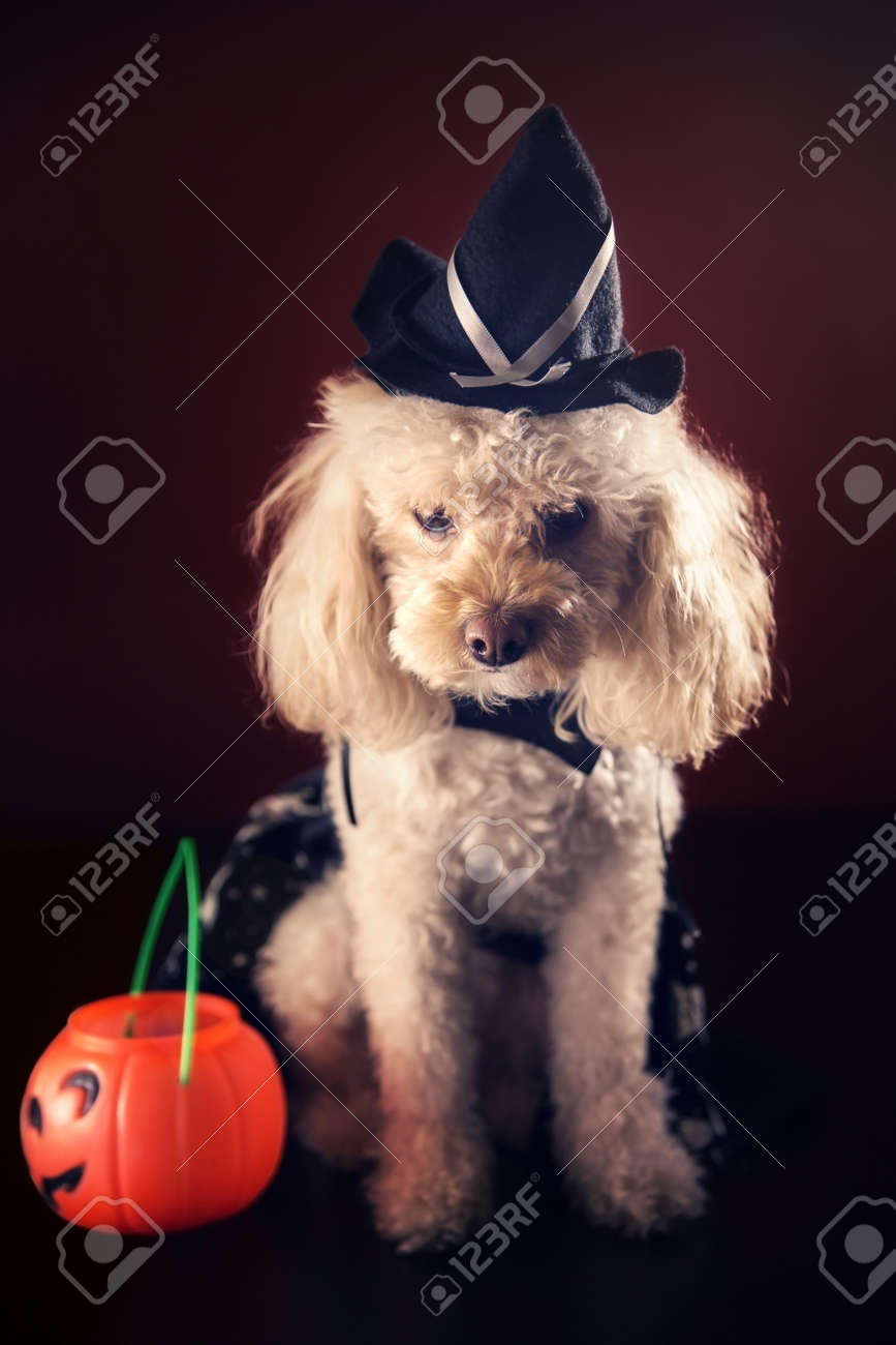 cute maltipoo puppy with witch halloween costume and plastic pumpkin on dark background stock photo
