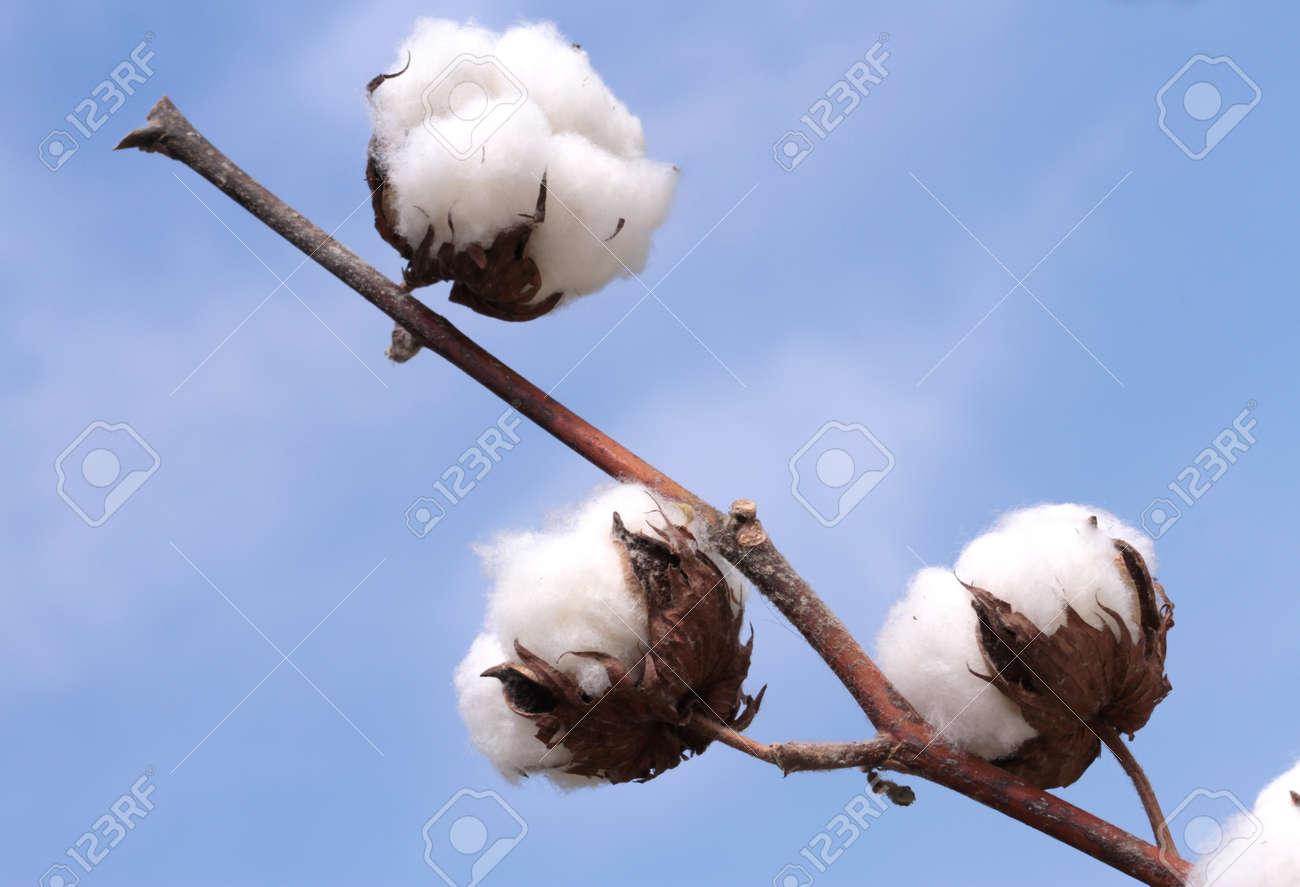 Cotton plant Ripe cotton ready for harvesting - 29553344