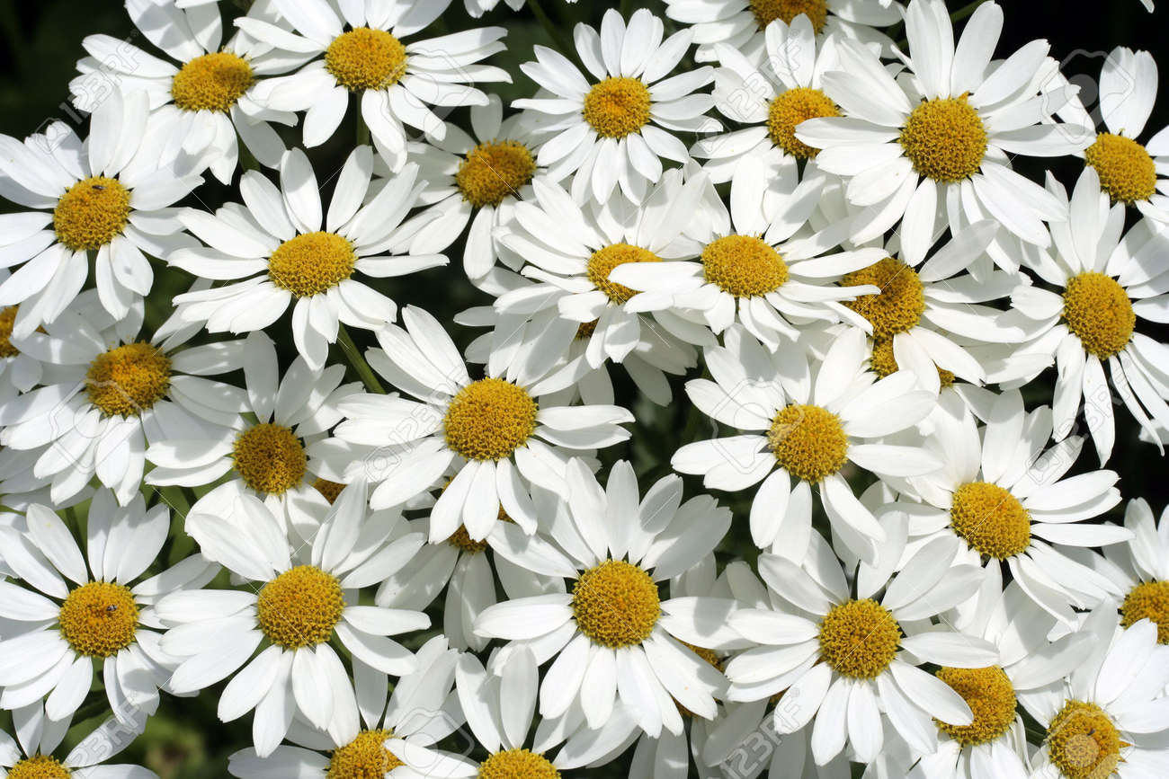 garden full of white daisies stock photo, picture and royalty free, Beautiful flower