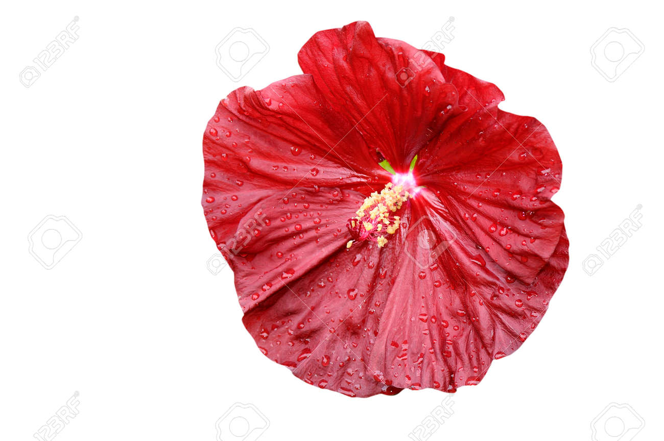 Close Up Of Isolated Hibiscus Moscheutos On White Background Stock