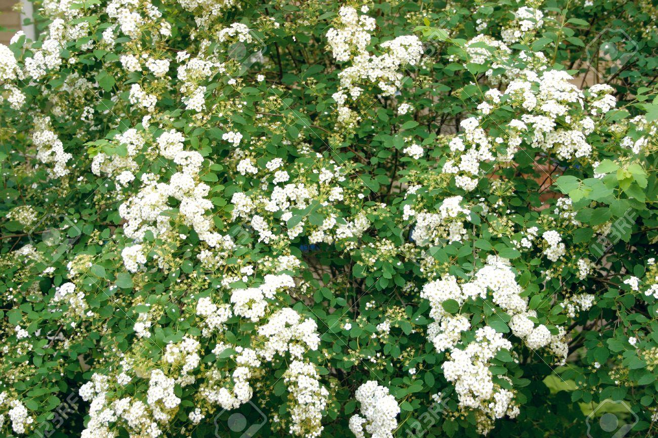 Green bush with white flowers stock photo picture and royalty free green bush with white flowers stock photo 15470402 mightylinksfo