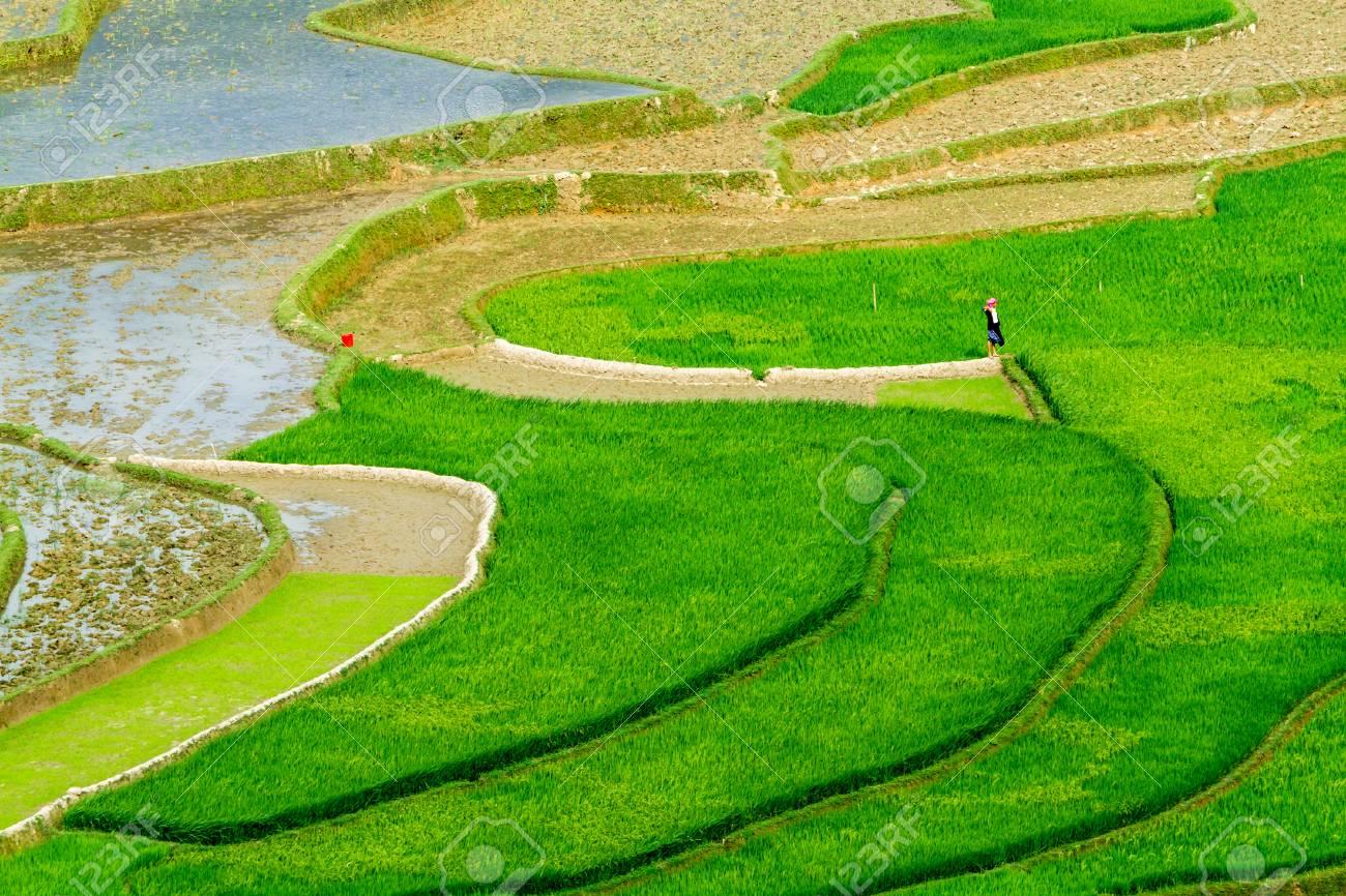 Niza Cultivos En Terrazas Curvas Con Arroz Recién Plantado Lugar Vietnam Del Norte
