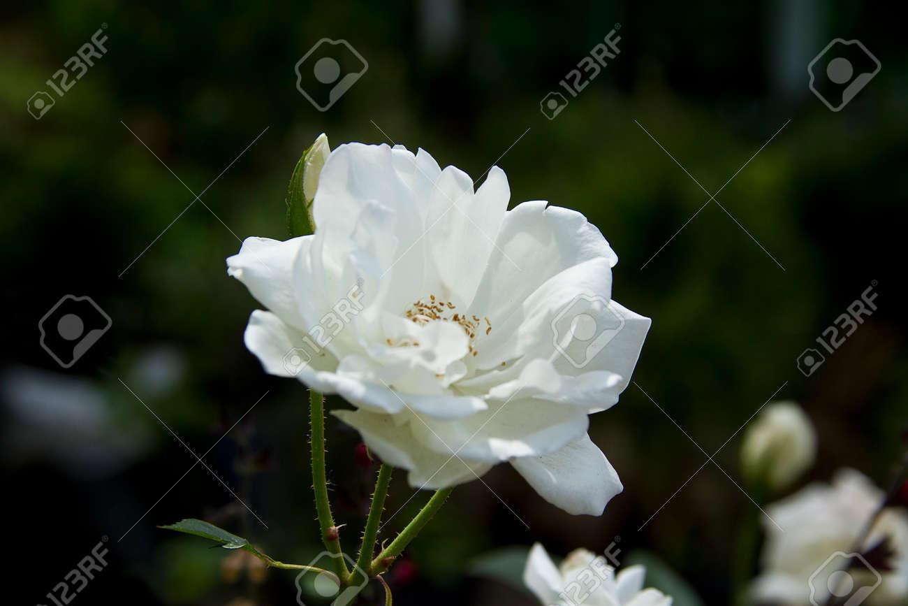 white rose in japanise garden - 23669036