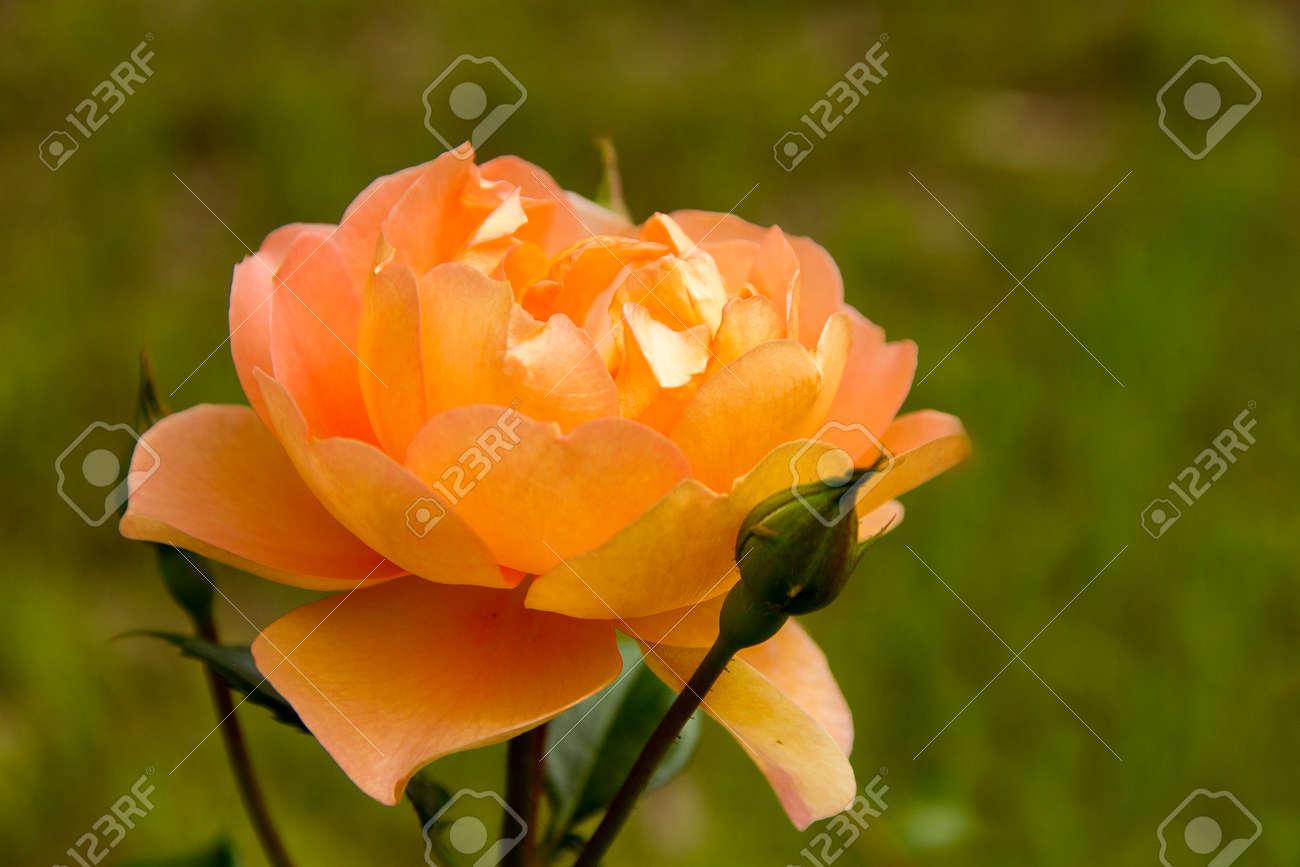 Rosa naranja del jardin japones - 23884796