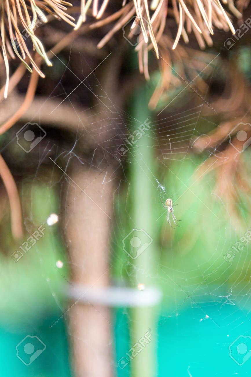 araignée sur une toile sur un pin jauni banque d'images et photos