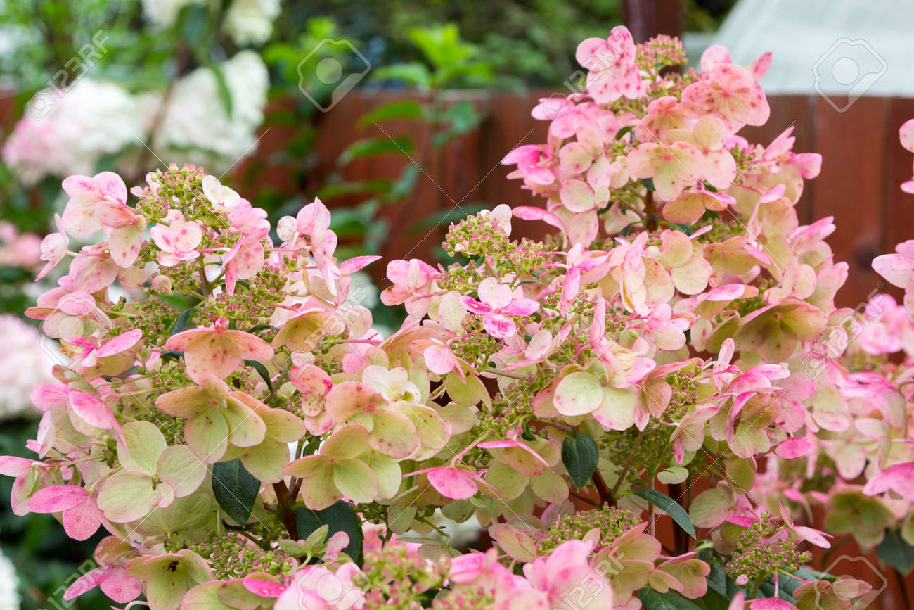 Hydrangea bush with large pink caps of flowers stock photo picture hydrangea bush with large pink caps of flowers stock photo 73104961 mightylinksfo