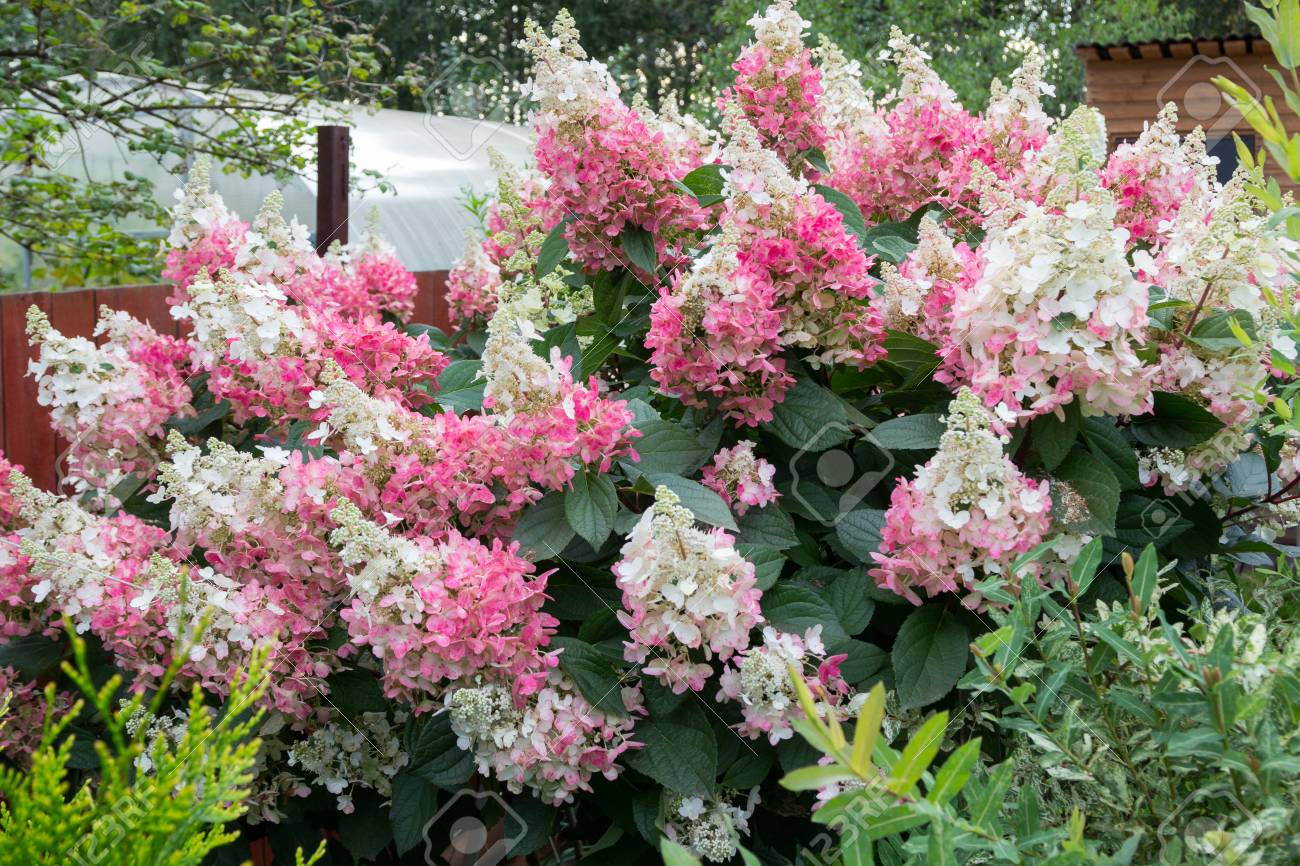 Hydrangea bush with large pink caps of flowers stock photo picture hydrangea bush with large pink caps of flowers stock photo 72939677 mightylinksfo