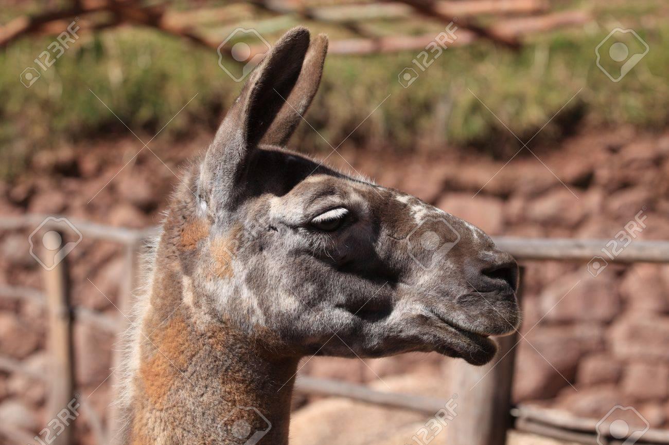 llama, guanaco, alpaca Stock Photo - 21736296