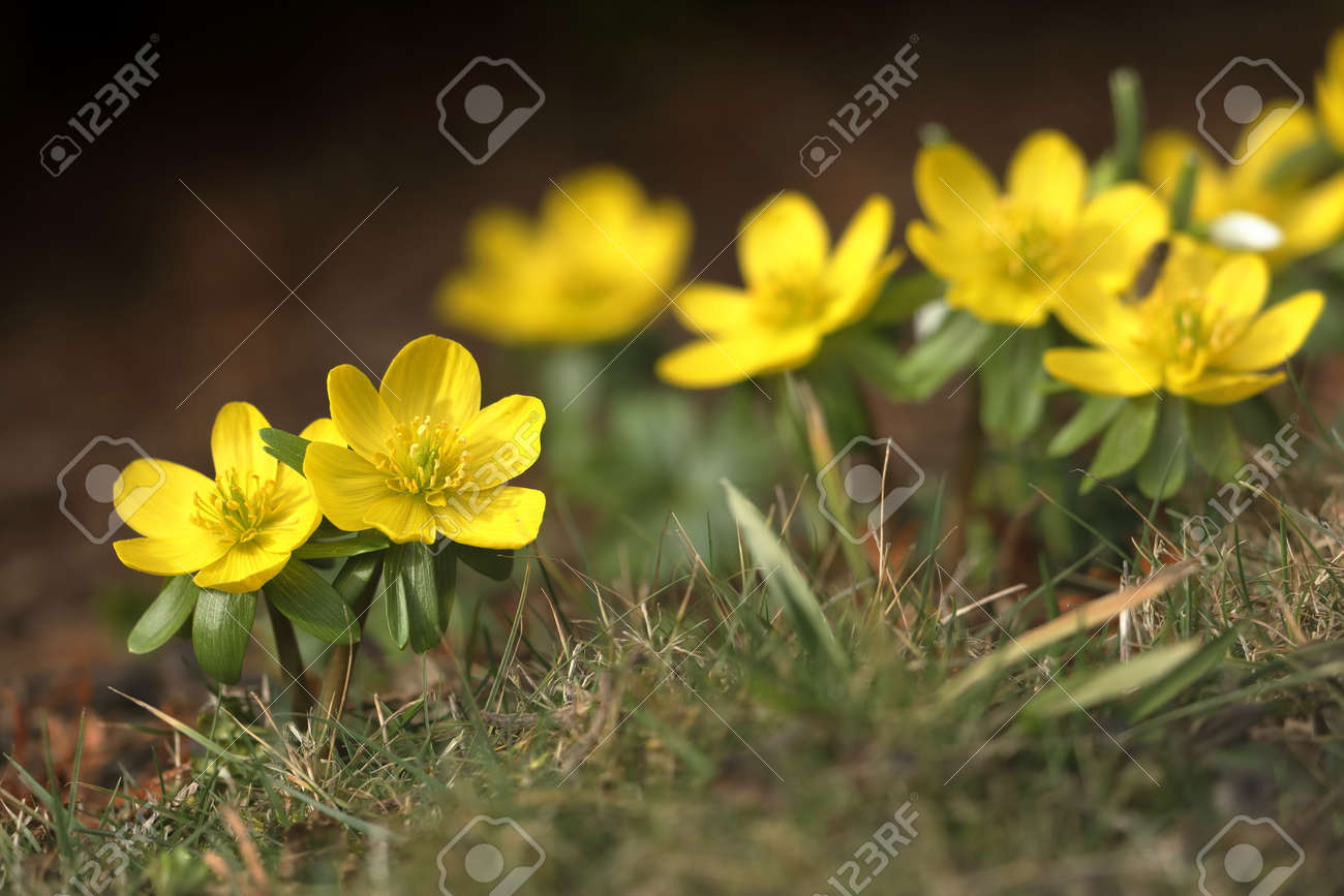 Flowering Winter Flowers In The Spring In Late February Stock Photo
