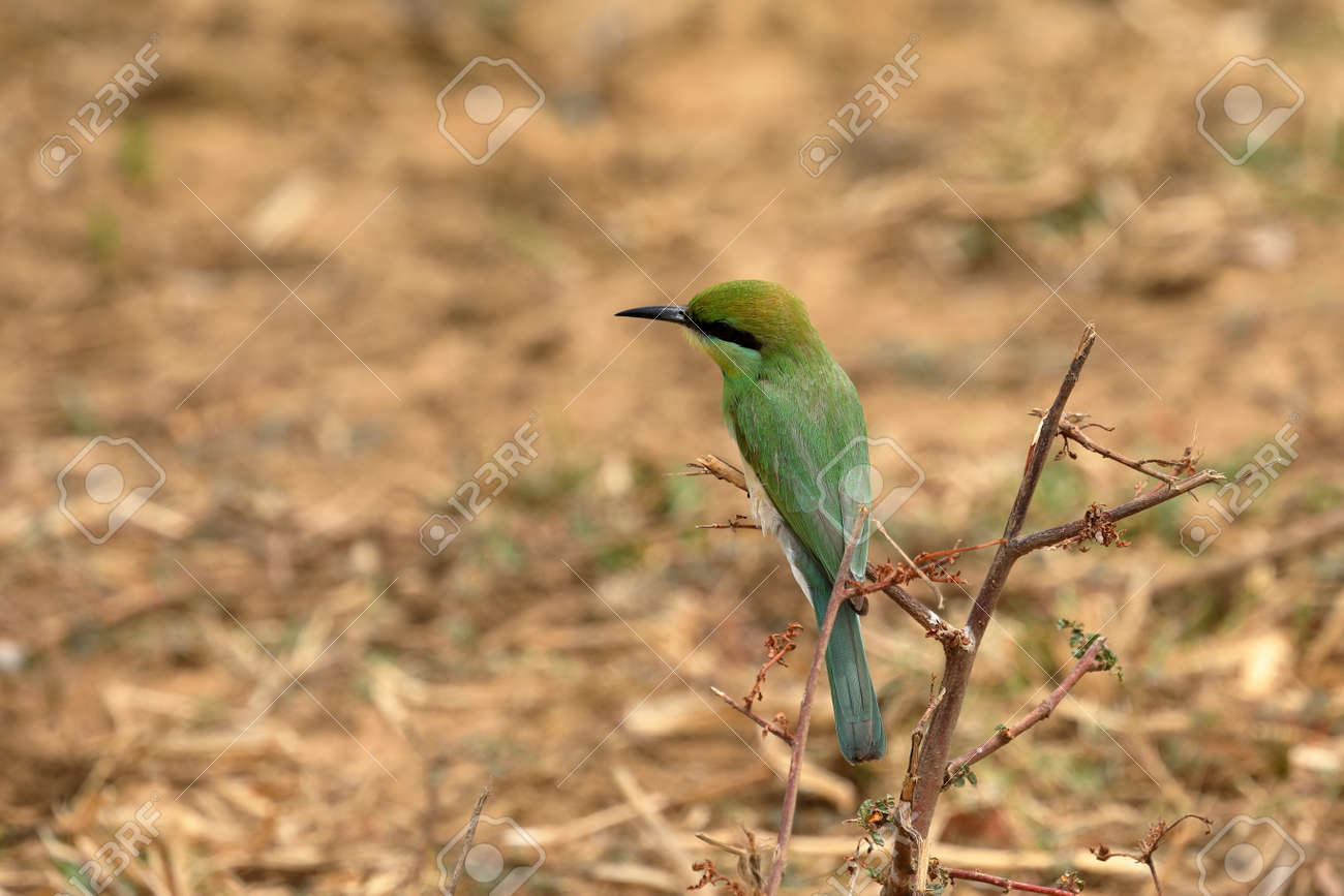 Bee Eater Bird Or Emerald Spint In Sri Lanka Stock Photo Picture And Royalty Free Image Image 93889954 1,358 likes · 436 talking about this. 123rf com