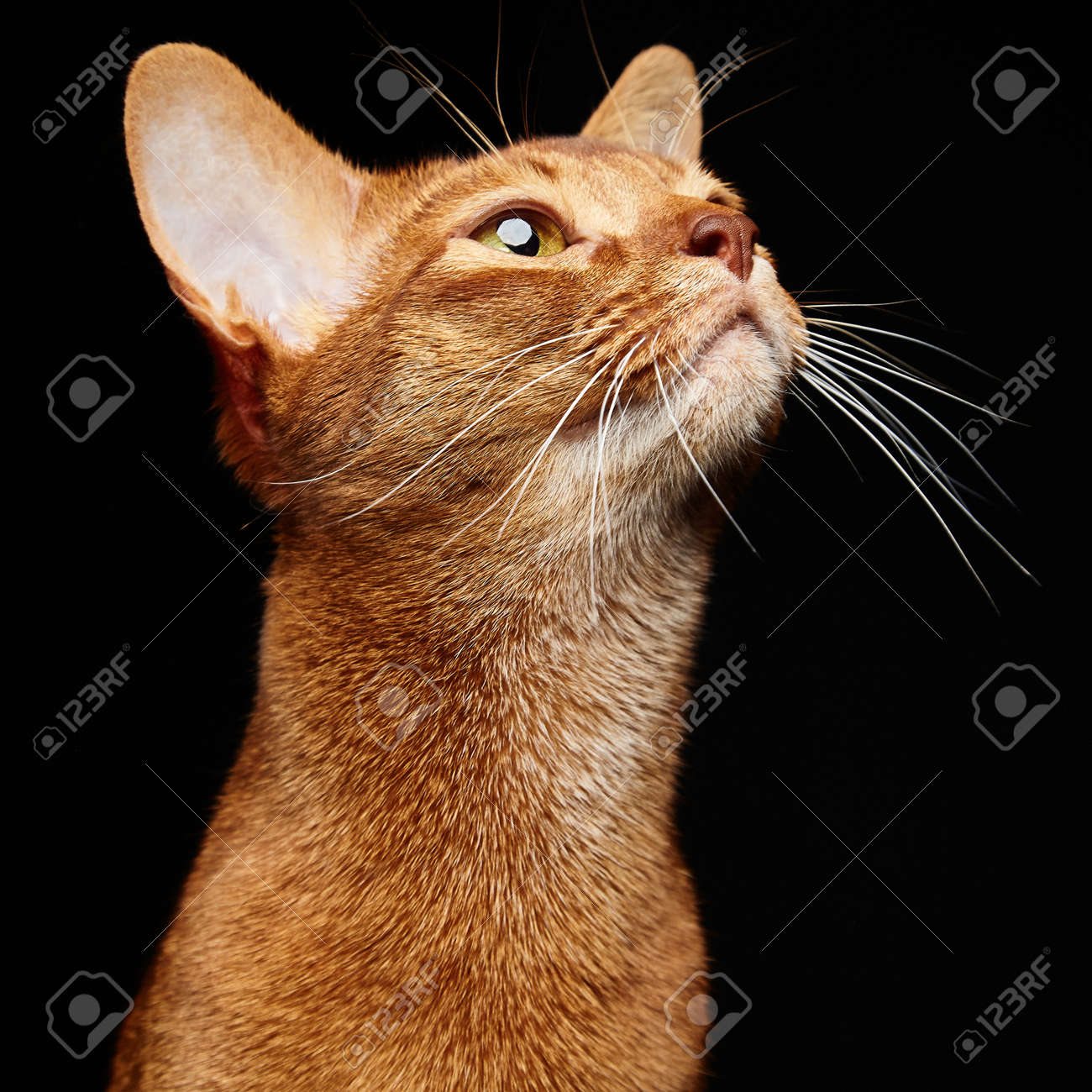 Abyssinian Cat Red
