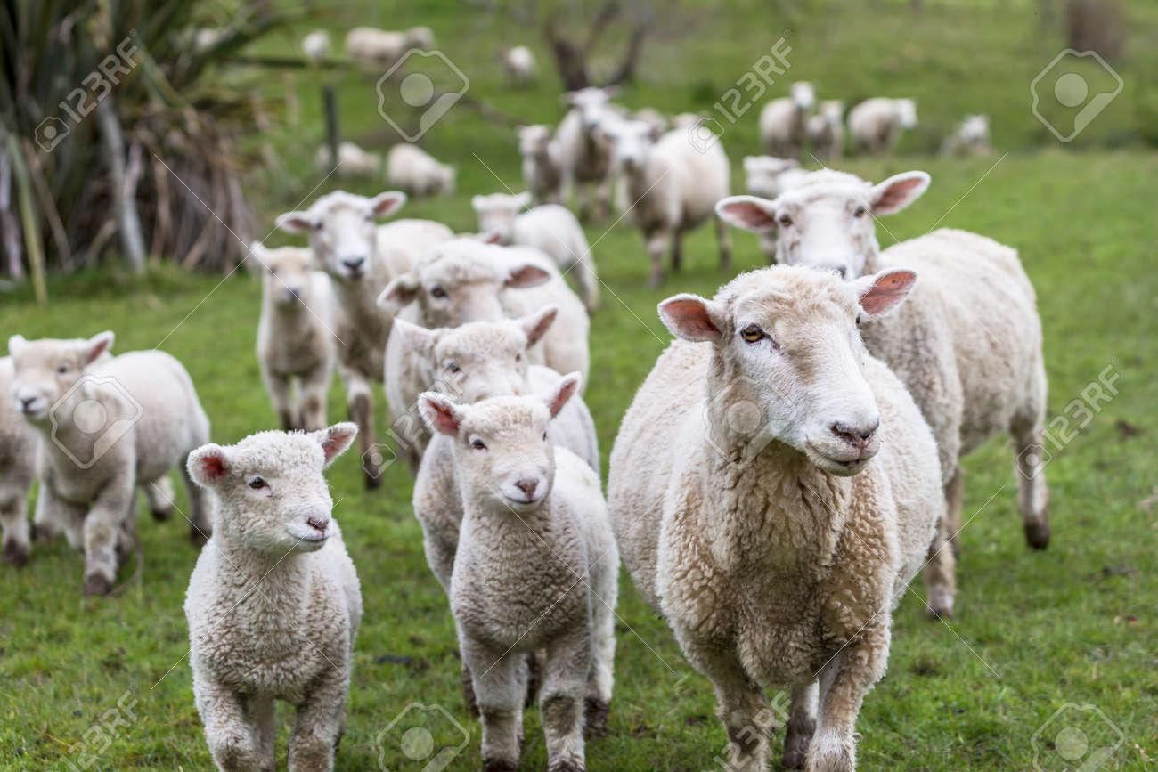 Lambs and sheep green grass - 32377400