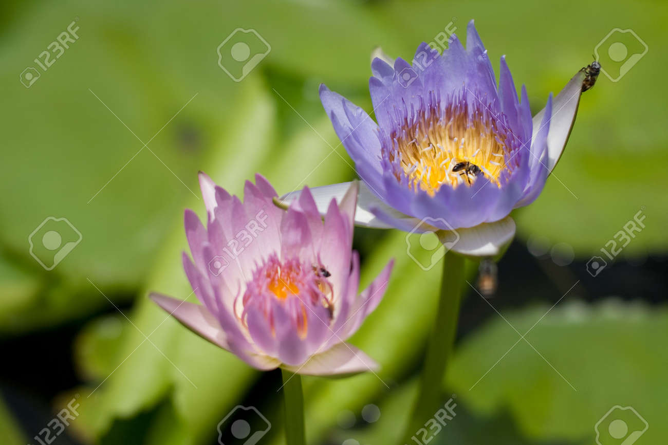 This Image Of Lotus Flowers A Symbol Of Buddhism And Bees Were