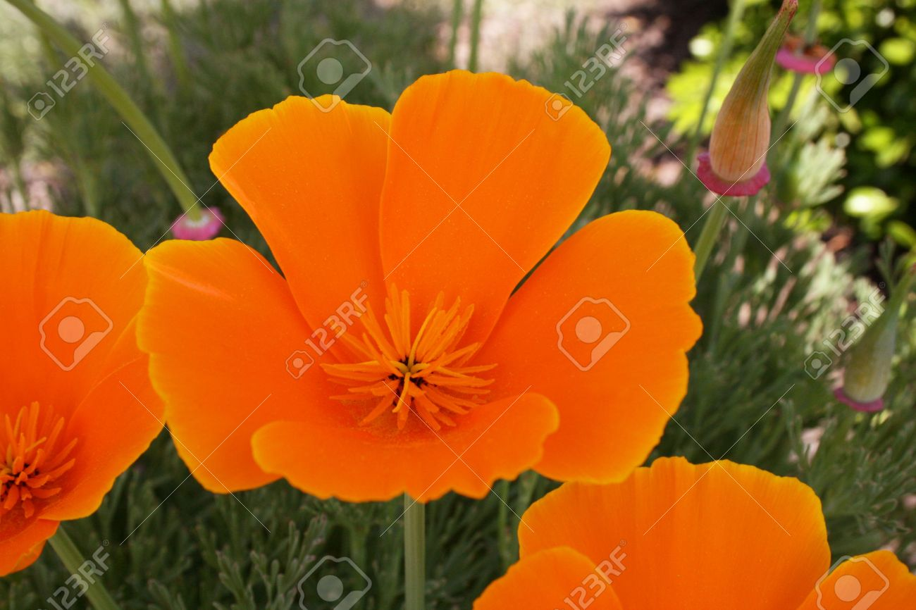 California State Flower The Golden Poppy Stock Photo Picture And