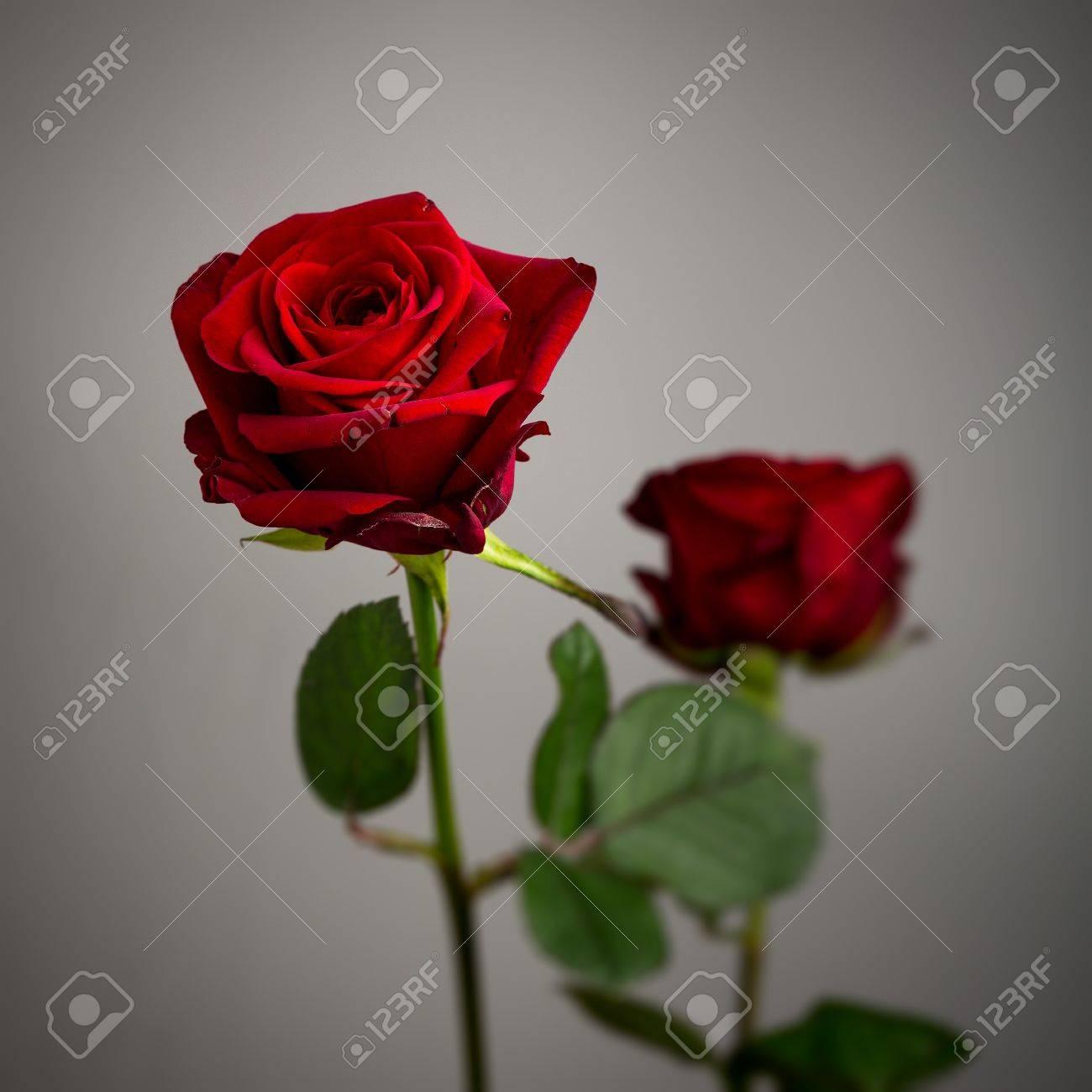 Immagini Stock Due Rose Rosso Valentino Isolato Su Uno Sfondo