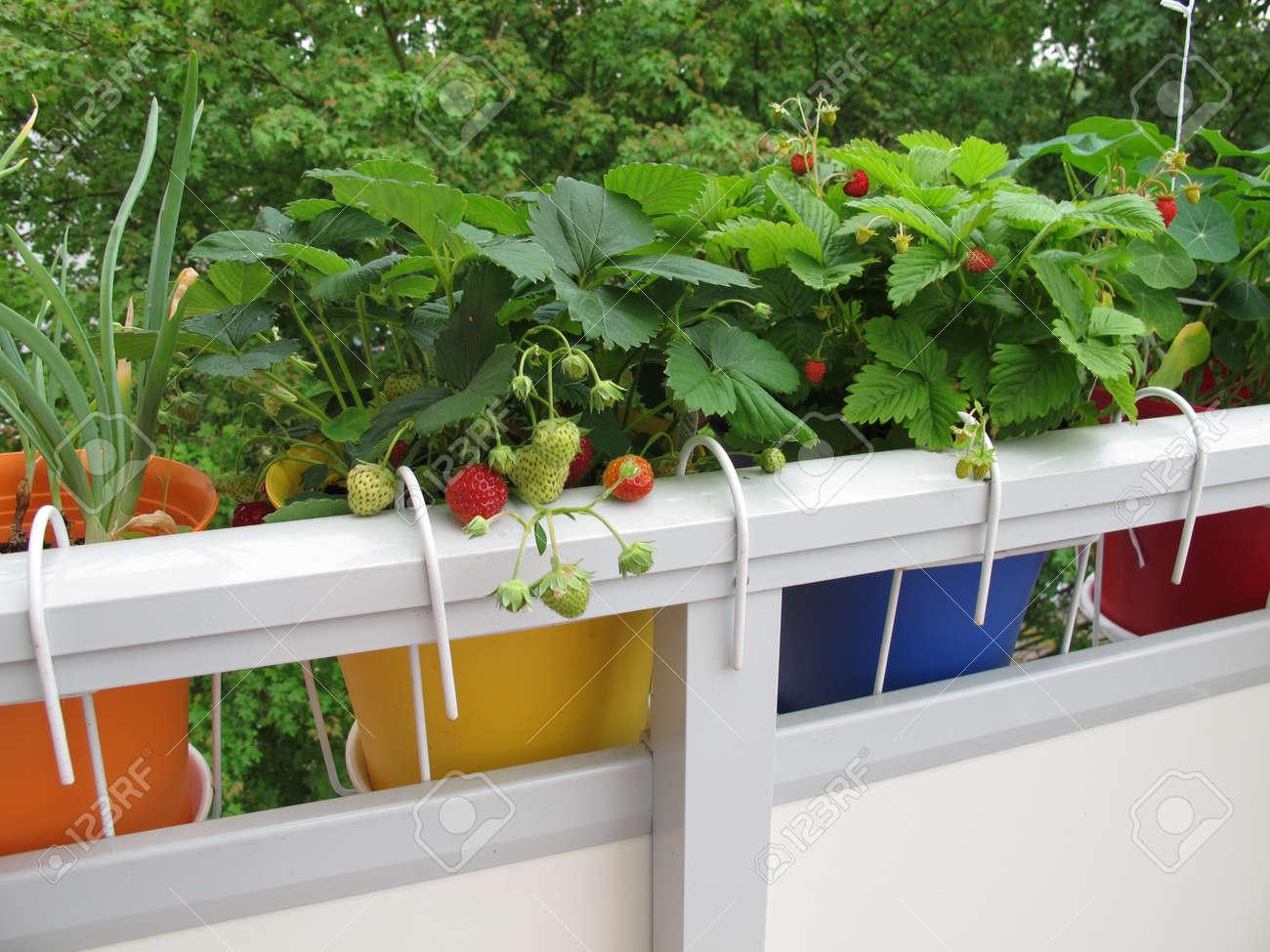 Erdbeeren In Blumentöpfen Auf Dem Balkon Lizenzfreie Fotos, Bilder ...