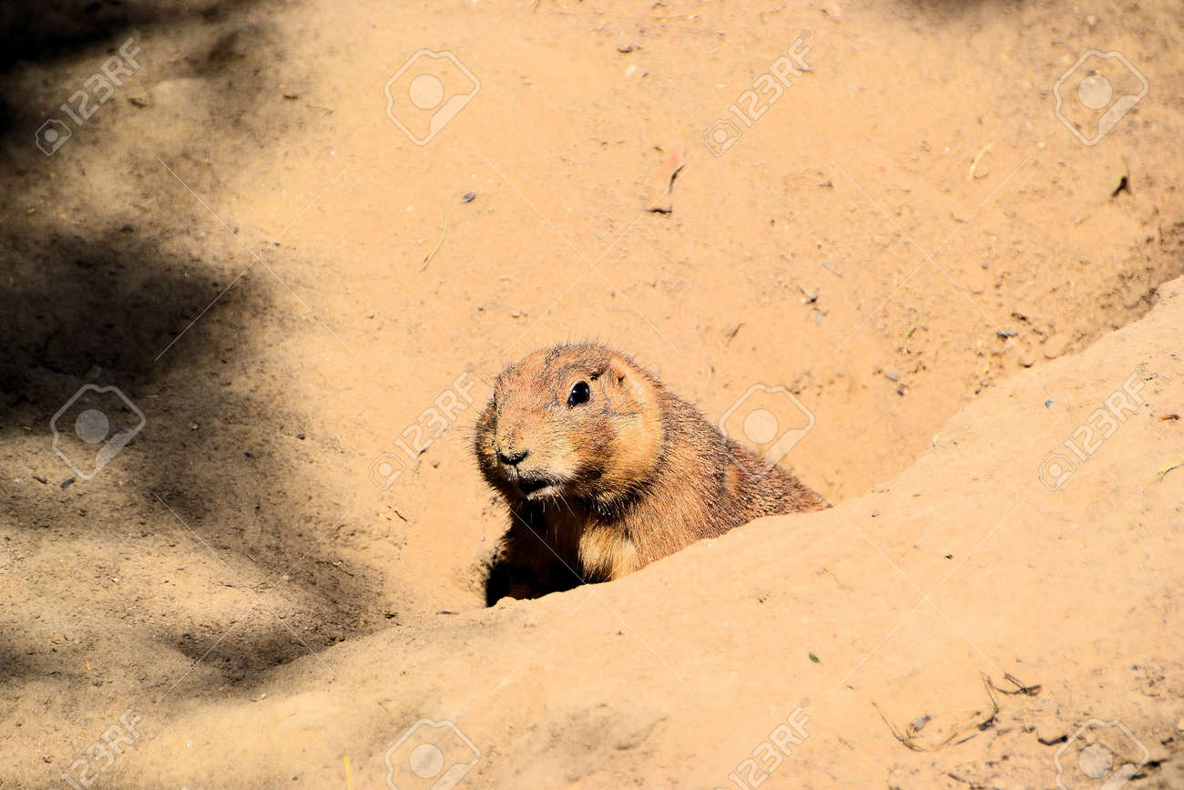 prairie dog Stock Photo - 15880806