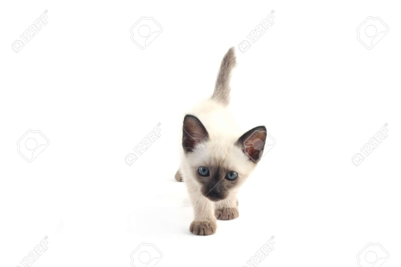 Baby A Thai Kitten Is A Traditional Or Old Style Siamese Kitten
